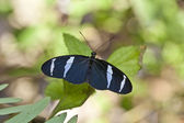Blue Heliconius butterfly — Stock Photo