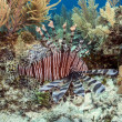 The red lionfish (Pterois volitans) - Stock Photo