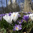 Crocus flowers - Foto Stock