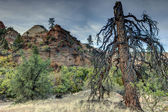 Zion National Park lignhtning struck tree — Stock Photo