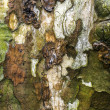 American Sycamore tree bark — Stock Photo