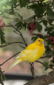 Canary, (Serinus canaria domestica — Stock Photo