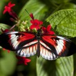 Stock Photo: Heliconius butterfly Piano key
