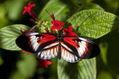Heliconius butterfly Piano key — Stock Photo