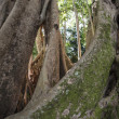 Ficus benghalensis, the Indian Banyan tree - Stock Photo