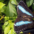Stock Photo: Achilles Morpho, Blue-banded Morpho butterfly