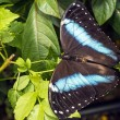 Achilles Morpho, Blue-banded Morpho butterfly - Stock Photo