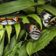 Piano key Heliconius Butterfly - Stock Photo