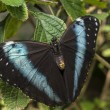 Achilles Morpho, Blue-banded Morpho butterfly — Stock Photo #22262023