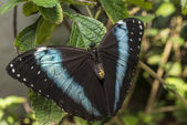 Achilles Morpho, Blue-banded Morpho butterfly — Stock Photo
