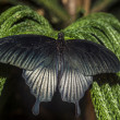 The Great Mormon (Papilio memnon) - Stock Photo