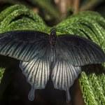The Great Mormon (Papilio memnon) — Stock Photo #22648217