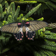 The Great Mormon (Papilio memnon) female - Stock Photo