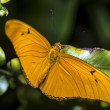 Stock Photo: JuliLongwing (Dryas iulia) Butterfly