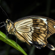 BuPapilio dardanus (the African Swallowtail,butterfly - Stock Photo