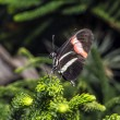 Stock Photo: Longwing Butterfly