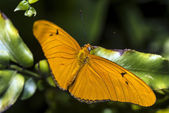 Julia Longwing (Dryas iulia) Butterfly — 图库照片