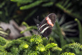Longwing Butterfly — Stock fotografie