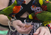Rainbow Lorikeet, (Trichoglossus haematodus) — Stock Photo