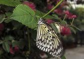 Das malabar baum-nymphe oder malabar — Stockfoto