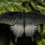 The Great Mormon (Papilio memnon) — Stock Photo #24626597