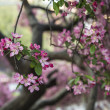 Central Park, New York City Malus 'Purple Prince' — Stock Photo