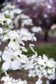 Cornus florida (flowering dogwood) — Stock Photo