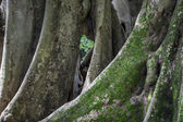 Ficus benghalensis, the Indian Banyan tree — Stock Photo