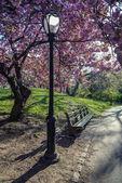 日本の桜の木 — ストック写真