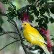 The yellow Canary, (Serinus canaria domestica — Stock Photo