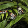 Stock Photo: Piano key Heliconius Butterfly