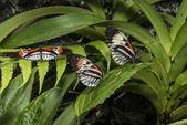 Piano key Heliconius Butterfly — Stock Photo