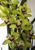 Cymbidium or boat orchid — Stock Photo