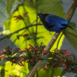 The Yellow-legged honeycreeper — Stock Photo