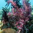 Dendronephthya klunzingeri Lembeh Strait — Stock Photo