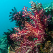 Lembeh Strait  soft corals — Stock Photo