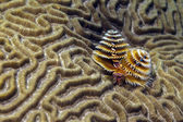 Spirobranchus giganteus, Christmas tree worms — Stock Photo