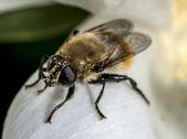 Hover vliegen (familie syrphidae) — Stockfoto