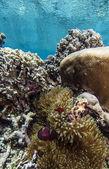 番茄小丑鱼,amphiprion frenatus — 图库照片
