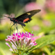 Stockfoto: Common Rose longwing butterfly