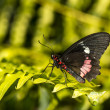 Stock Photo: Common Rose longwing butterfly