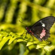 Common Rose longwing butterfly — Stock Photo