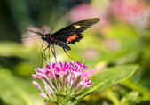 Common Rose longwing butterfly — ストック写真