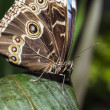 blue morpho butterfly — Stock Photo
