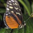 Stock Photo: Hecale longwing Butterfly