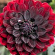 Dahlia single flower in close up — Stock Photo