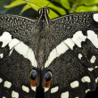 Stock Photo: Emperor Swllowtail (P. ophidicephalus).Butterfly