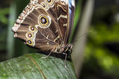 Blue Morpho Butterfly — 图库照片