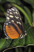 Hecale longwing Butterfly — Stock Photo