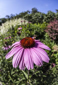Echinacea flowers in garden — Stock Photo